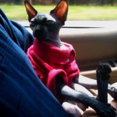 Sigmund, our solid black Sphynx boy, as co-pilot.