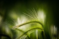 .: Green Grain :. by Jon Rista on 500px