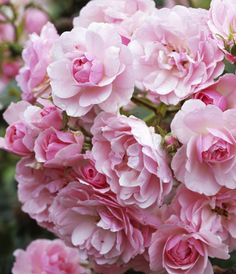Rosa 'Bonica' is licht geurend en een geweldige doorbloeier. Als je de uitgebloeide bloemen blijft verwijderen, produceert de roos trossen zachtroze bloemen tot ver na de zomer.