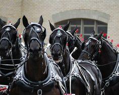 Percheron Horse Team 2008 (by Joseph Duba) So majestic and demanding.