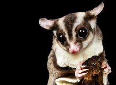 Sugar Gliders As Pets: What You Need to Know