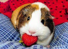 happy strawberry eating guinea piggy