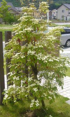 常緑ヤマボウシ Japanese Plants, Trees To Plant, Interior And Exterior, Patio, Country, Flowers, Home Decor, Home, House