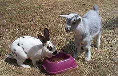 I want a mini goat for a pet!  That is just too cool.