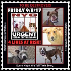 TO BE DESTROYED 09/08/17 - - Info   To rescue a Death Row Dog, Please read this:http://information.urgentpodr.org/adoption-info-and-list-of-rescues/  To view the full album, please click here:http://nycdogs.urgentpodr.org/tbd-dogs-page/ -  Click for info & Current Status: http://nycdogs.urgentpodr.org/to-be-destroyed-4915/