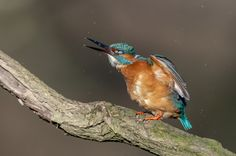 kingfisher - null