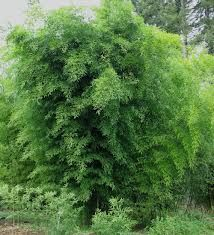 Black Bamboo - a really good feature in a Japanese garden , ideal for screening at the rear of a garden area. Small Japanese Garden, Japanese Garden Design, Phyllostachys Nigra, Black Bamboo, Garden Spaces, Greenery, Lak, Home And Garden, Herbs