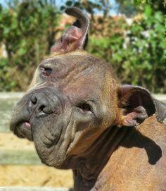 "1/9/17 16-273 ""Vito"" Dog • Pit Bull Terrier & English Bulldog Mix • Adult • Male • Medium Town of Babylon Animal Shelter West Babylon, NY"