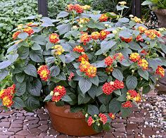 Lantana -- Annual        A favorite of butterflies and hummingbirds alike, lantana offers colorful red, yellow, orange, pink, lavender, or white flowers on heat-loving, drought-resistant plants.        Name: Lantana selections        Growing Conditions: Full sun and well-drained soil        Size: To 4 feet tall and wide (but usually less when grown as an annual)        Zones: 10-11, but usually grown as an annual in colder areas      Lantana is a perfect plant partner for colorful red ann...