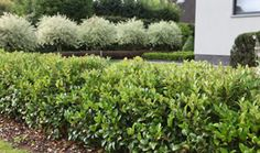 Ligustrum Japonicum Green Century - Assortiment