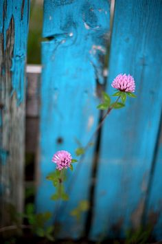 clovers against blue fence