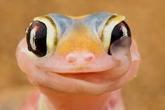 Gecko drinks by licking its eyeballs