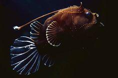 ANGLER FISH SPECIES | Deep sea angler fish