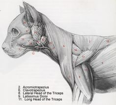New cats anatomy poses Ideas Anatomy Sketch, Anatomy Drawing, Anatomy Art, Cat Drawing, Anatomy Poses, Dog Anatomy, Animal Anatomy, Muscle Anatomy, Cat Reference