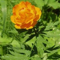 Engblomme (Trollius asiaticus) Red Bedding, Planters, Herbs, Rose, Flowers, Pink, Roses, Florals, Herb