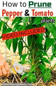Planting Vegetables, Organic Vegetables, Growing Vegetables, Organic Plants, Planting Seeds, Pruning Tomato Plants, Growing Peppers, Growing Tomatoes, Vegetable Garden