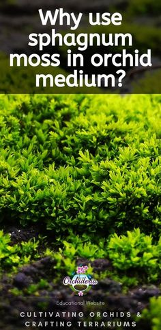 10 Reasons to Use Sphagnum Moss for Potting Orchids When repotting, sphagnum moss for orchids is essential for your potting medium. To the contrary of most things about orchids, where the typical answer is, �it depends,� you can use sphagnum Indoor Orchids, Orchids Garden, Orchid Plant Care, Orchid Plants, Indoor Gardening Supplies, Orchid Leaves, Types Of Orchids, Build A Greenhouse, How To Attract Hummingbirds