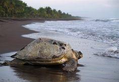 Schildpad op het strand van Tortuguero