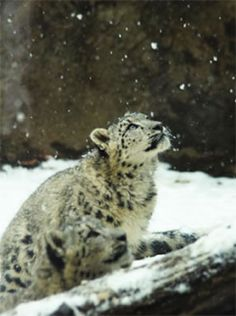 The Snow Leopard Trust (UK) Limited is a registered charity, officially established in 2006 to support the conservation of the snow leopard in Asia.