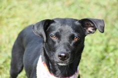 Daisy | #Adoptable #Dog | Labrador Retriever | Deerfield, NH |  Pinned on 9/24/13! Do you need more information on Daisy??!! Maybe you're ready to bring her home? Call Mary's Dogs: 603.370.7750 or send along an email: mailto:marysdogsrescue@gmail.com. WE HAVE SOME FABULOUS DOGS! They are often posted on our Facebook Fan Page first.