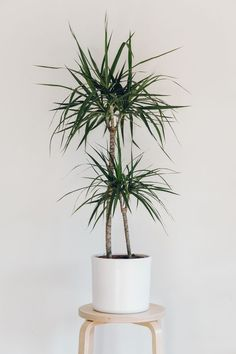 The Madagascar dragon tree can make a great focal point in a room but beware! This plant is toxic to cats and dogs.