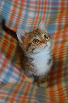 Such a sweet face: I WANT one!! It has been several years since we have had a cat=WANT that baby!!!!!!!!!!!!!
