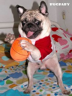 Basketball Pug, too cute!!