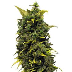 Blue Dream Cannabis Strain.  A favorite of many patients and 420 fans! A chill and relaxing effect.