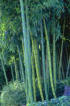 Phyllostachys dulcis - Sweet shoot bamboo. Cold hardy up to -5. Powder coated.