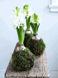 BAJO MI PARAGUAS nos muestra cómo hacer kokedamas de impresionante belleza con jacintos.