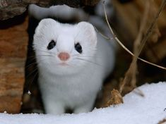 By Kellen Witschen. 15 Photos That Will Make You Fall in Love with the Adorable Ermine - My Modern Met
