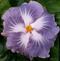 Rare Purple White Hibiscus Seeds Giant Dinner Plate Fresh Flower Garden Exotic Hardy Flowering Perennial Tropical by ToadstoolSeeds on Etsy Tropical Flowers, Hibiscus Flowers, Tropical Garden, Fresh Flowers, Beautiful Flowers, Hibiscus Garden, Lilies Flowers, Purple Garden, Hawaiian Flowers