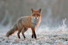 Red Fox by Łukasz Jabłoński