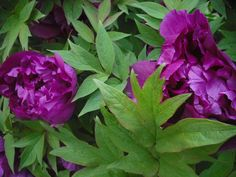 Tree peonies..the blooms are well worth the wait !