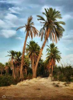 Basra southern Iraq  , date palms