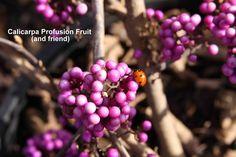 Calicarpa bodnieri 'Profusion' fruit and a little friend.
