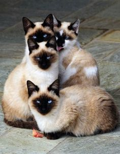 quatre chatons siamois adorables