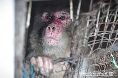 4/8/2016 - Prisoner: Joe the macaque was kept in a tiny cage in a Thai slum by his owners from 1991 until he was finally rescued last week.
