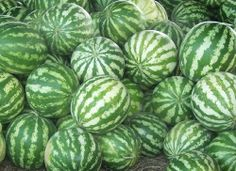 We are hoping to have a farmer's market  with native watermelons in early Fall.