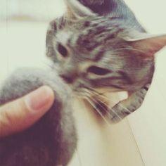 #毛玉ボール #毛玉 #ねこ #ねこ部 #にゃんこ部 #猫 #ネコ #あめしょ #アメショ  #アメリカンショートヘア  #にゃんだふるらいふ #ニャンスタグラム #ネコスタグラム #にゃんすたぐらむ #にゃんこ #ねこすたぐらむ #キャット #catstagram  #cat #catsofinstagram #lovecats #americanshorthair #instacat #スタペグラム #みんねこ  #美猫 #愛猫  #猫好きさんと繋がりたい  #関西ねこ部 #あめお