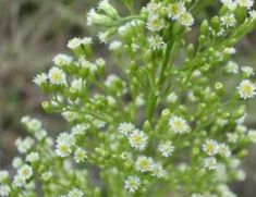 Horseweed flowers - Young leaves are edible. The leaves are best dried and stored for later use to help flavour meals (flavour is similar to tarragon). The young seedlings are also edible. Native people once pulverized the young tops and leaves and ate them raw (similar to using an onion). The leaves are a good source of calcium and potassium and well as protein.