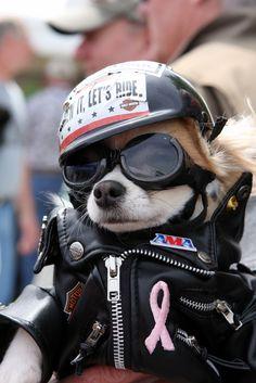 Chihuahua biker dude!