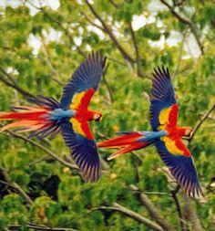 Macaws - Aves Coloridas