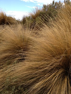 Native grasses. Coorong, South Australia