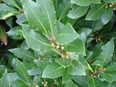 Sweet Bay Tree Care: Tips For Growing A Bay Tree - Bay leaves add their essence and aroma to our soups and stews but did you ever wonder how to grow a bay leaf tree? Get tips on how to grow a bay leaf tree in this article. Bay Leaf Plant, Bay Leaf Tree, Bay Leaves, Spice Garden, Herb Garden, Vegetable Garden, Garden Plants, Dog Garden, Veggie Gardens