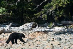 Did you know that there is a type of bear only found in Canada? The Haida Gwaii black bear have survived off of salmon and shellfish for so long that they've developed larger jaws and teeth than other black bears. They live in Gwaii Haanas National Park Reserve, National Marine Conservation Reserve and Haida Heritage Site and other parts of these islands off the coast of British Columbia.