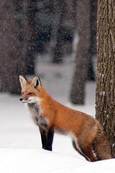 Red Fox by Jelrdan - Roger Dan