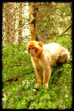 Macaco de Ifrane Ifrane Morocco, Moroccan, Monkey, Images, Nature, Travel, Morocco, Souvenir, Jumpsuit