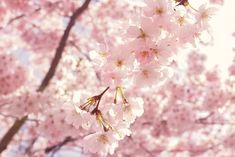 Selective Focus Photography Of Pink Cherry Blossom Flowers Color Palette - Hex & RGB Code Spring Color Palette, Spring Colors, Spring Flowers, Pink Flowering Trees, Spring Images, Color Lila, Cherry Blossom Flowers, Cute Wallpaper For Phone, Video Pink