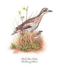 Bush Stone Curlew Bird Art, Watercolor Paintings, Birds, Australia, Babies, Quilts, Stone, Tattoos, Illustration